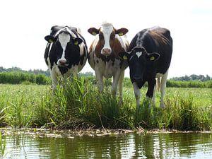 Kühe am Wasserrand in Nordholland von Anita Tromp