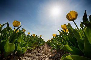 Bollenveld - Gele Tulpen van Manuel Speksnijder