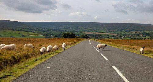 Pas op! Overstekende schapen