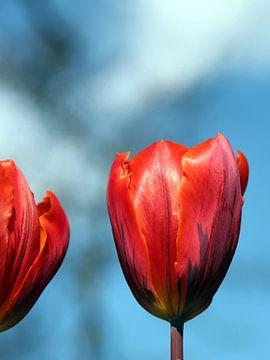 Blozend rood van Maartje Kuperus