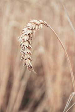 Rijpe tarwe aar. Graan veld in Nederland. van Marjolein Hameleers