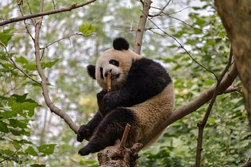 Panda in boom van Kenji Elzerman