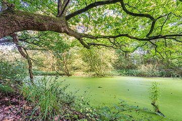 overhangende tak over een groen water van Michel Knikker