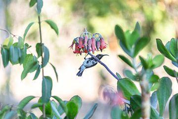 Kolibri sur Felix Brönnimann