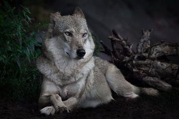 De kalme zelfverzekerdheid van een herwolf die vorstelijk op de grond zit in het donker tegen de ach van Michael Semenov