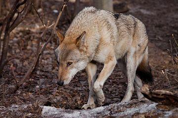 Une puissante et énorme bête prédateur se faufile la tête en bas, ses yeux brûlant prédateur. loup g sur Michael Semenov