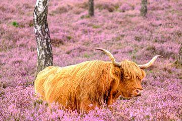 Schottische Hochlandrinder ruhen in einem blühenden Heidekrautfeld von Sjoerd van der Wal