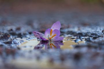 Krokus in einer Regenpfütze von Willian Goedhart