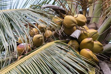 Noix de coco dans un beau cocotier