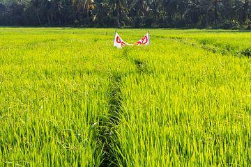 Rijstveld in het zuiden van Sri Lanka. von Rijk van de Kaa