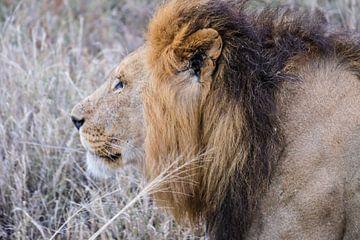 Männliches Löwenporträt von pixxelmixx