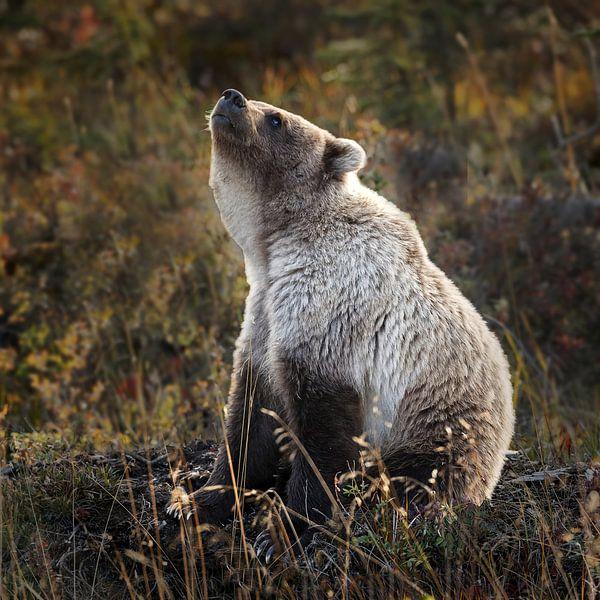 Grizzly beer ruikt iets van Menno Schaefer
