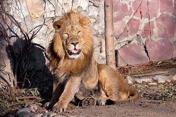 steht auf und bereitet seinen Mund halb offen vor. Ein kräftiges Löwenmännchen mit einer schicken, v von Michael Semenov