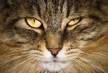 Noorse boskat close up von Dennis van de Water