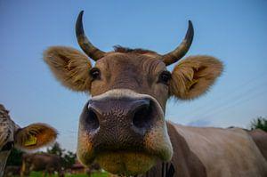 Portret van een Zwitserse koe