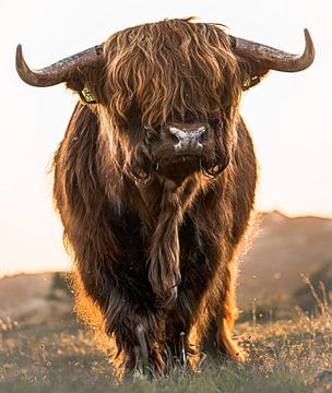 Schotse Hooglander von Karel Ton