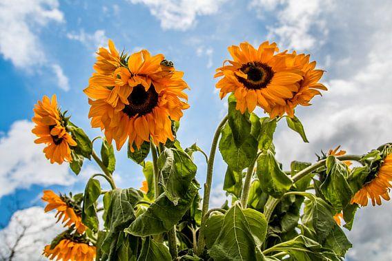 Zonnebloemen van Brulin fotografie