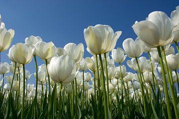 Witte tulpen van PvdH Fotografie