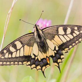 Vlinders en libellen  | Koninginnepage tussen de bloemen van Servan Ott