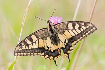 Papillons et libellules | Grand porte-queue parmi les fleurs sur Servan Ott