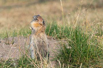 Erdhörnchen (Urocitellus columbianus), Waterton Lakes National Park, Alberta, Kanada von Alexander Ludwig
