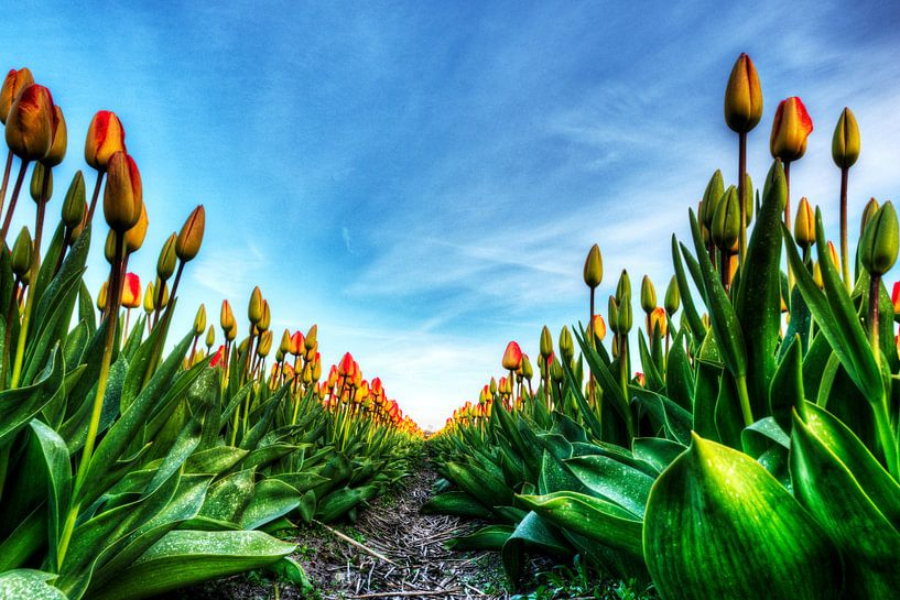 Tulpenveld van Wouter Sikkema