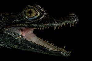 Crocodile in the dark