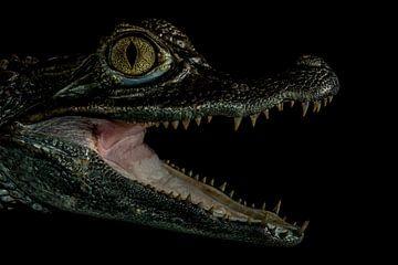 Krokodillen: In het donker van Rob Smit