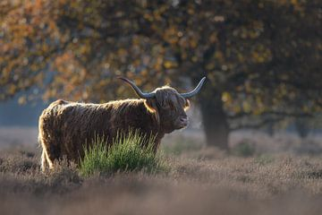 Schotse hooglander in de ochtend zon van Nick van Beusekom
