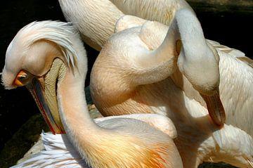 Pelikan von Kees de Knegt