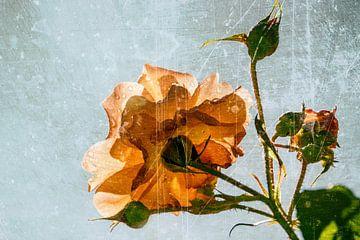 magie van een roos van Christine Nöhmeier