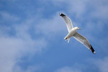 Stormmeeuw (larus canus) in de vlucht tegen een blauwe lucht met witte wolken, kopieerruimte van Maren Winter