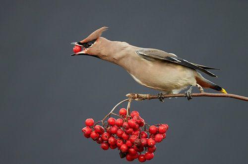 Bessen etende Pestvogel (Bombycilla garrulus)  van Beschermingswerk voor aan uw muur
