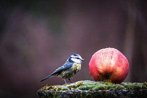 Mésange bleue sur la pomme