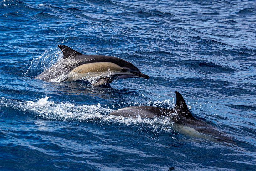 Delphinus delphis (gewone dolfijn) van Easycopters