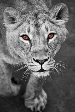 leeuwinnen zwart en wit, gekleurde gele ogen. van Michael Semenov