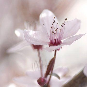 Frühlings Impressionen einer Kirschblüte van