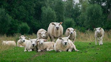 Familieportret van schapen van Wouter Bos