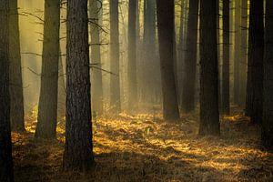 Gouden licht in het dennenbos op de Kalmthoutse Heide van