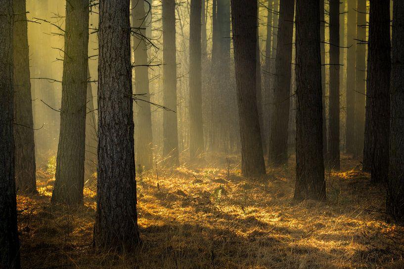 Gouden licht in het dennenbos op de Kalmthoutse Heide van Jos Pannekoek