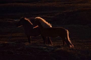 Islandpferde bei Sonnenuntergang von Elisa in Iceland