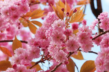 Bloesem Japanse sierkers van Margreet Frowijn