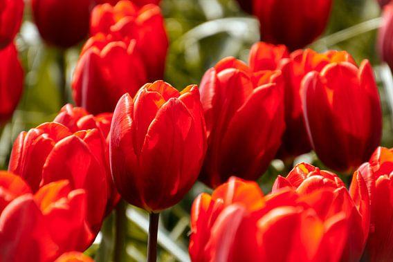 Mooie rode tulpen