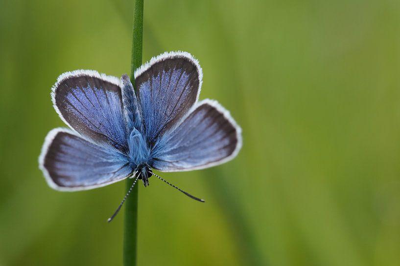 Gentiaanblauwtje. von Astrid Brouwers