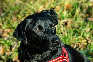 Labrador von Johnny Flash