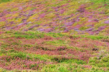 Bloeiende  paarse struikhei en gele gaspeldoorn sur