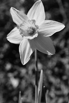 Narzisse Blume von Marie-Claire Aling