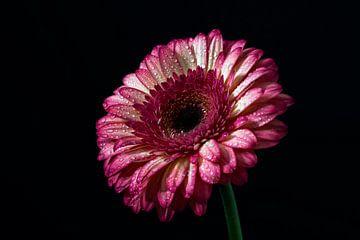 Gerbera rose sur fond sombre