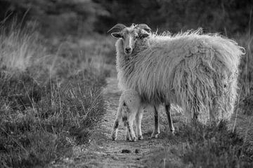 Schafe und Lämmer - schwarz-weiß von Sylvia Schuur
