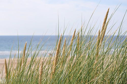 Helmgras in de duinen van Egmond aan Zee von Ton Wever